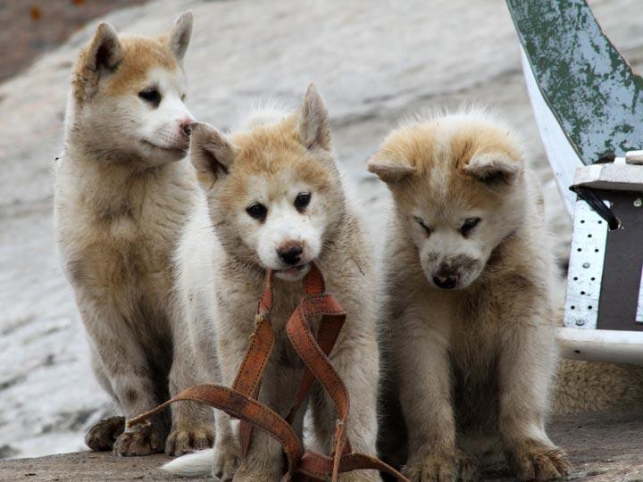 cuccioli di lupo groenlandia viaggio groenlandia emotions magazine rivista viaggi rivista turismo