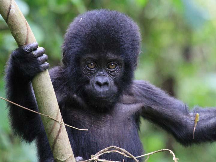 cucciolo di gorilla di montagna emotions magazine rivista viaggi rivista turismo