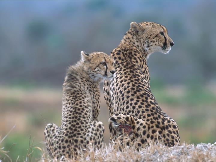 ghepardi - viaggio savana sud africana - emotions magazine - rivista viaggi - rivista turismo