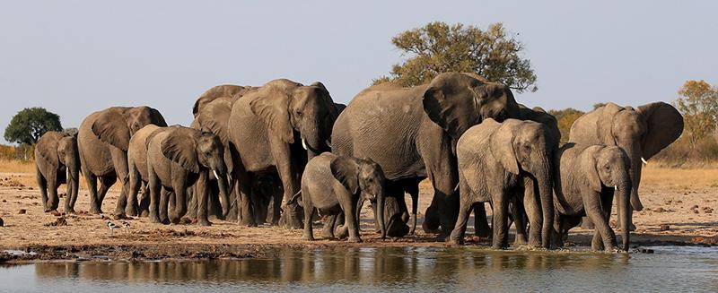 BOTSWANA Elefanti copia