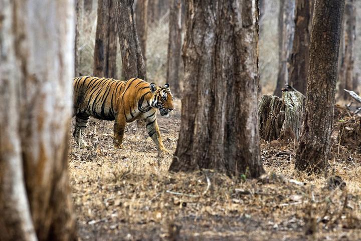 india-progetto-tigre