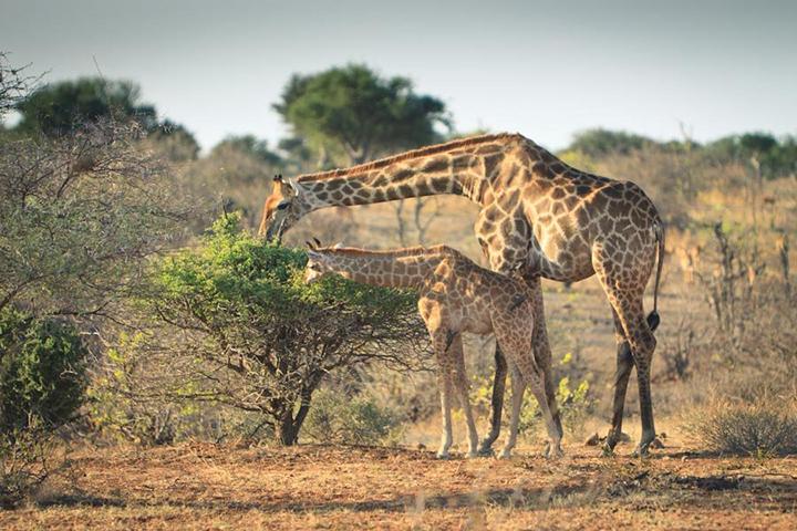 Mozambico_giraffe copia