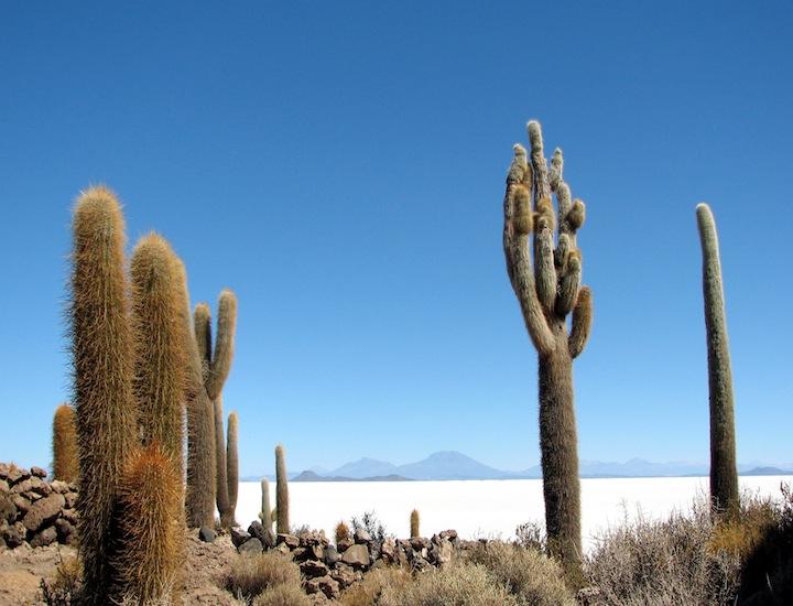bol70 cactus