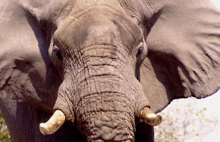 bots09m elefante