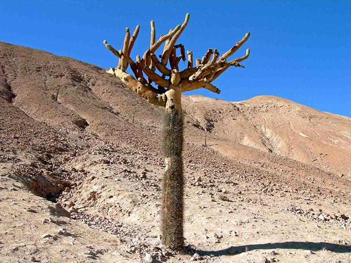 cile01m deserto cactus copia