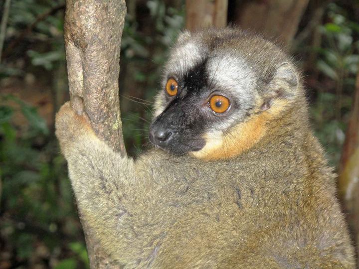 mada17m lemure catta copia