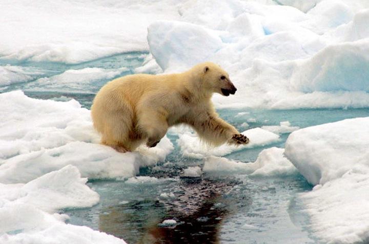 spit40m orso polare copia