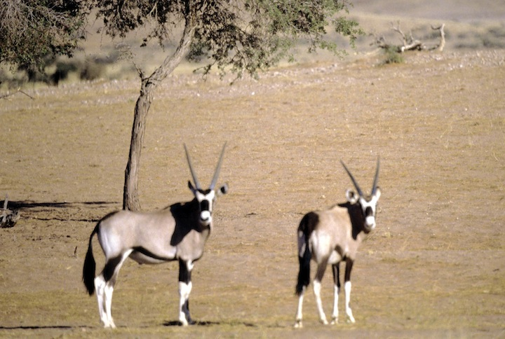 tanz38m kudu