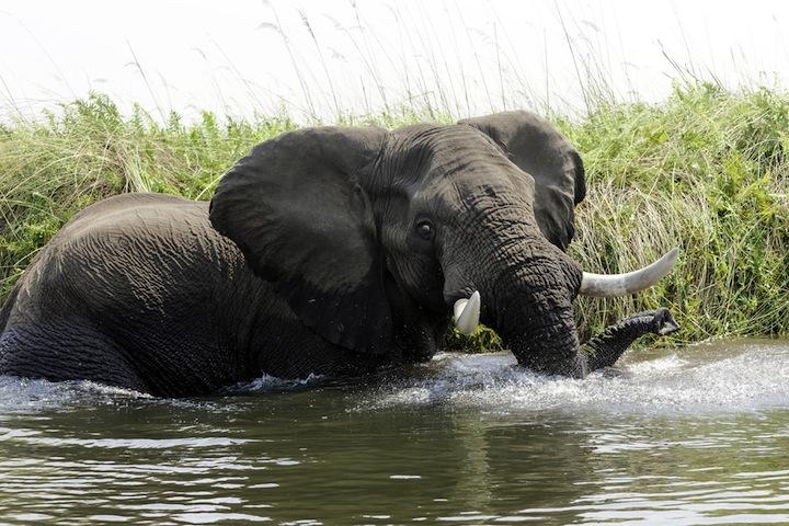 Elefante – Loxodonta africana – Elephant Foto AOK n. 4767