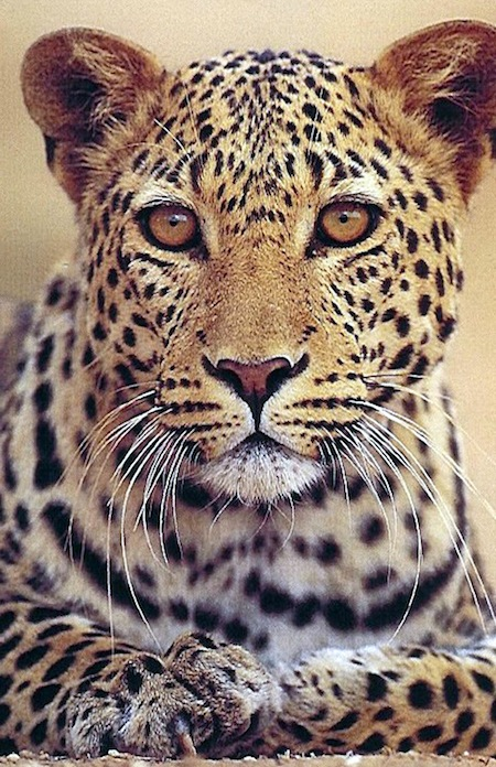 tanz45mv leopardo