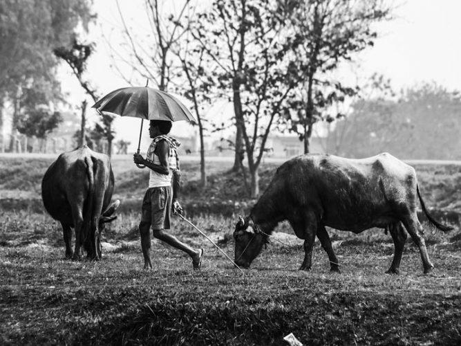 pastore mucche nepal viaggio nepal sauraha foto lorenzo zelaschi emotions magazine rivista viaggi rivista turismo